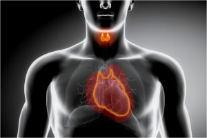 thyroid and heart